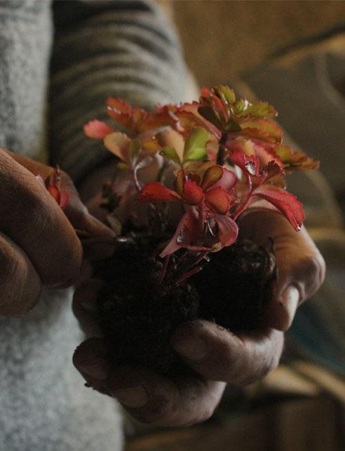 Foto einer Sedumpflanze die gerade umgetopft wird.
