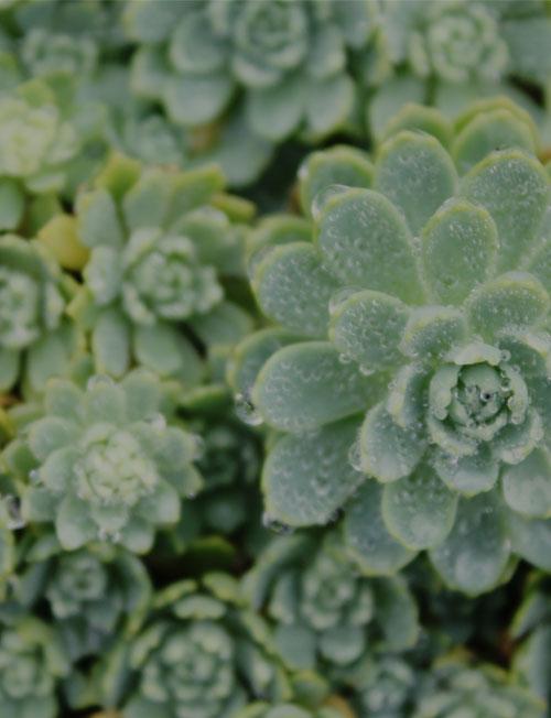 Close up einer Sedumpflanze.
